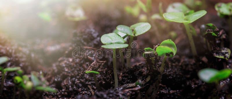 Odling av unga växter i solljus Utsädet växer från den rika jorden till det solsken på morgonen arkivbild