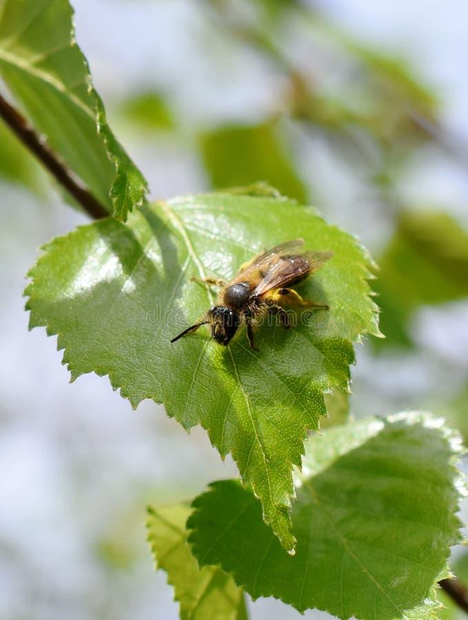 Odludna pszczoła na liściu obraz royalty free