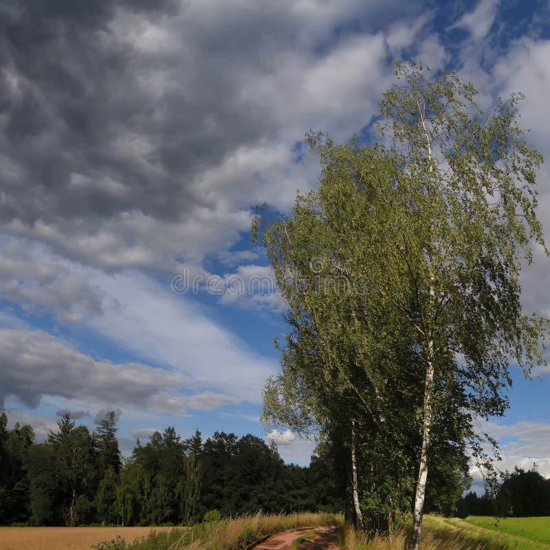 Odludni brzoz drzewa obok zmielonej drogi przy lata światłem dziennym obraz royalty free