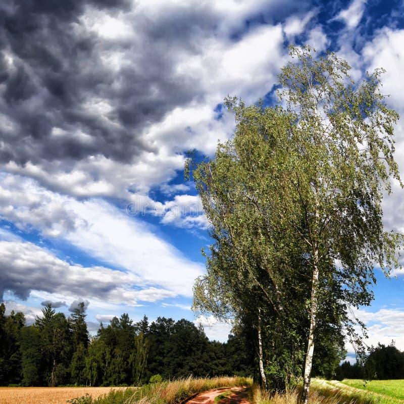 Odludni brzoz drzewa obok zmielonej drogi przy lata światłem dziennym fotografia royalty free