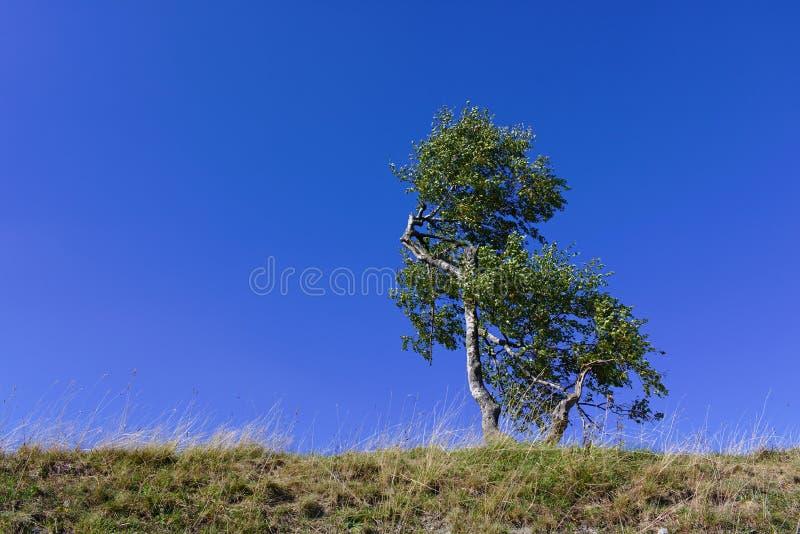 Odludny brzozy drzewo na trawiastej grani z jasnym niebieskim niebem zdjęcie royalty free
