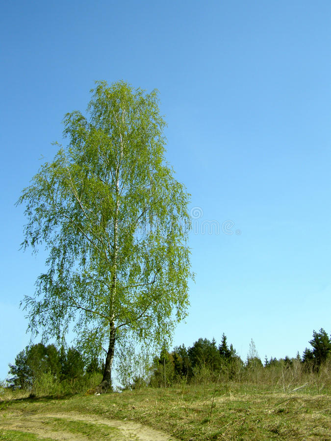 Odludny brzozy drzewo na wzgórzu obraz royalty free