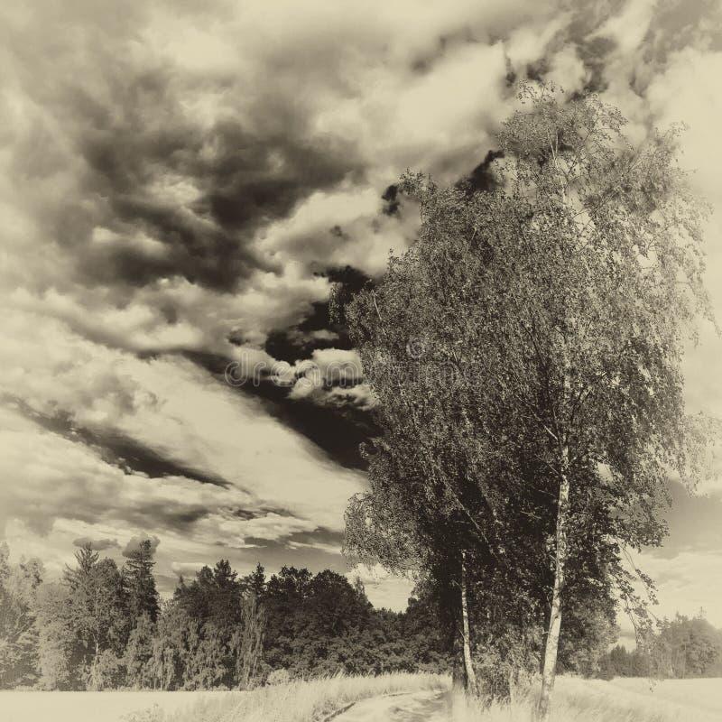 Odludny brzozy treee obok zmielonej drogi przy lata światłem dziennym obrazy royalty free