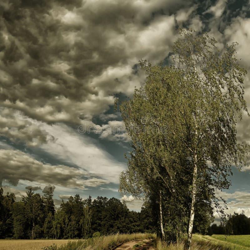 Odludny brzozy treee obok zmielonej drogi przy lata światłem dziennym obrazy stock