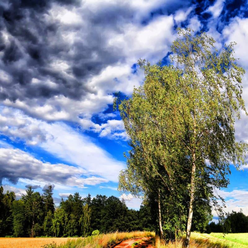 Odludny brzozy treee obok zmielonej drogi przy lata światłem dziennym fotografia royalty free