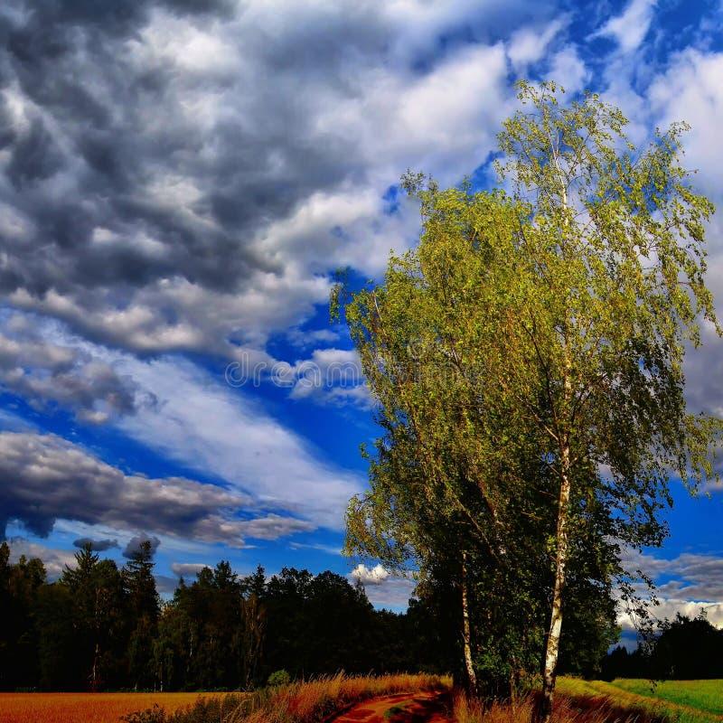 Odludny brzozy treee obok zmielonej drogi przy lata światłem dziennym fotografia stock