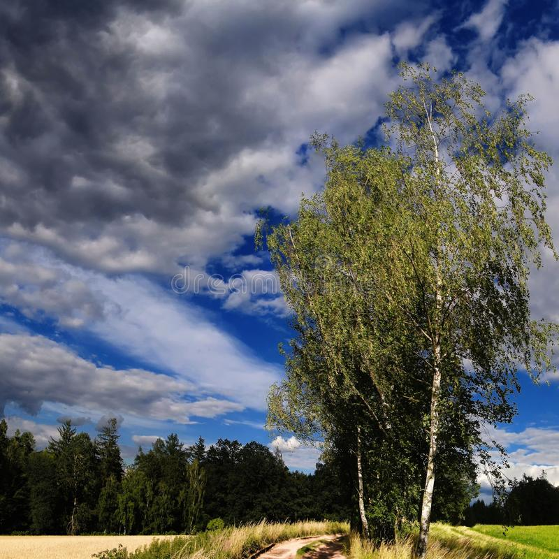 Odludny brzozy treee obok zmielonej drogi przy lata światłem dziennym obraz stock