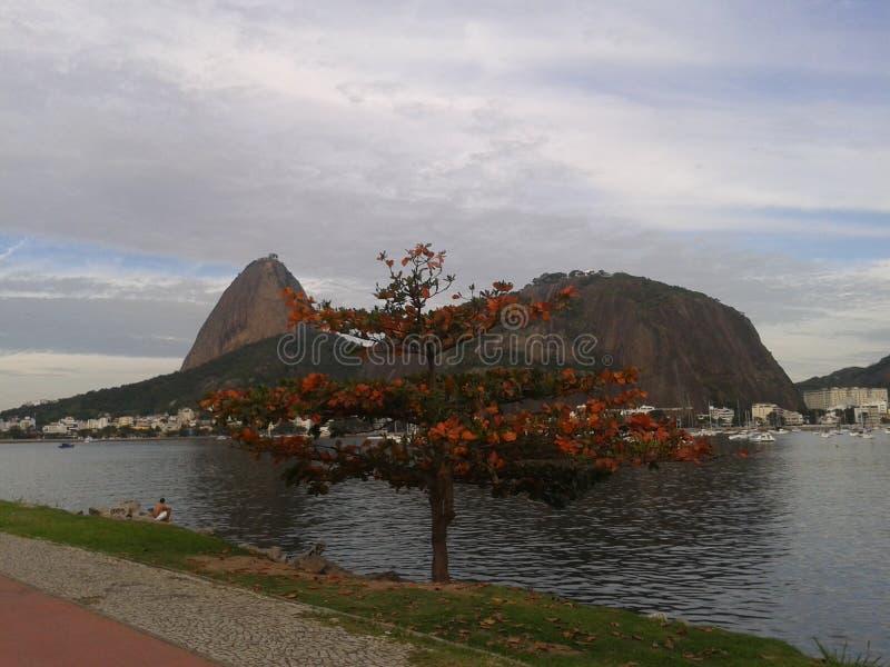 Odludny drzewo w Rio De Janeiro obraz royalty free