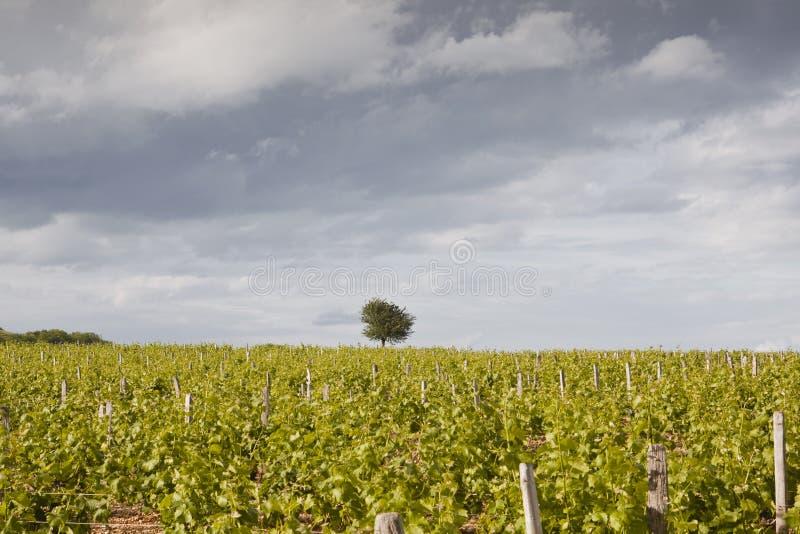 Odludny drzewo w winnicach obraz royalty free