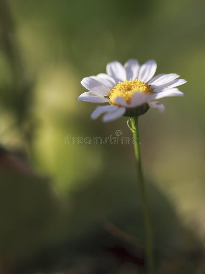 Odludny rumianku kwiat z zielonym bokeh tłem obrazy royalty free
