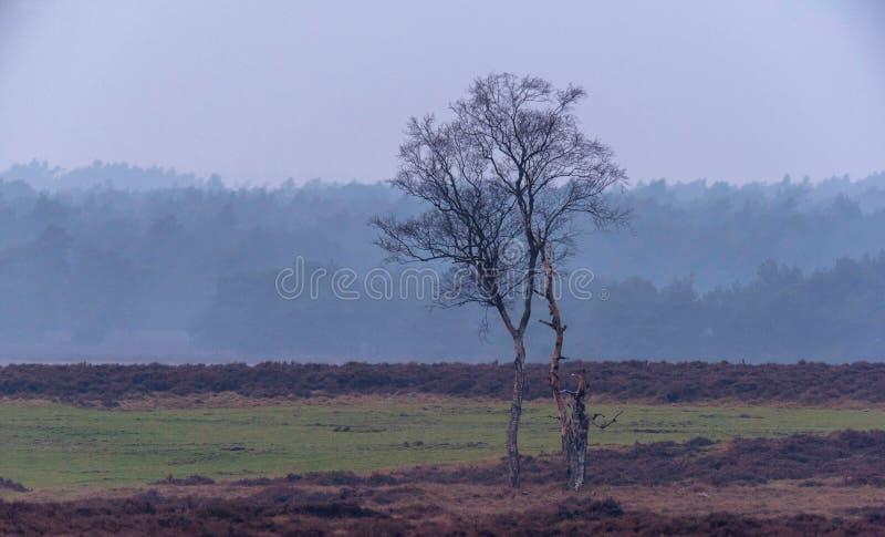 Odludny zimy brzozy drzewo w mglistym wrzosu krajobrazie fotografia stock