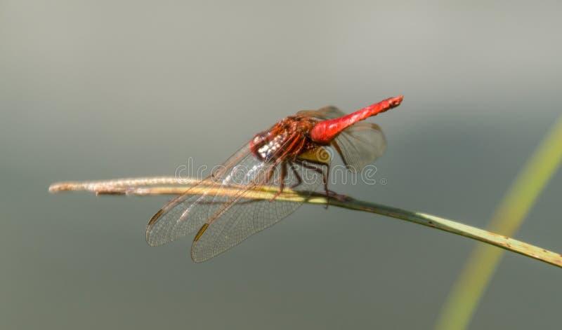 Odonata, libellule, isere, Γαλλία στοκ φωτογραφίες