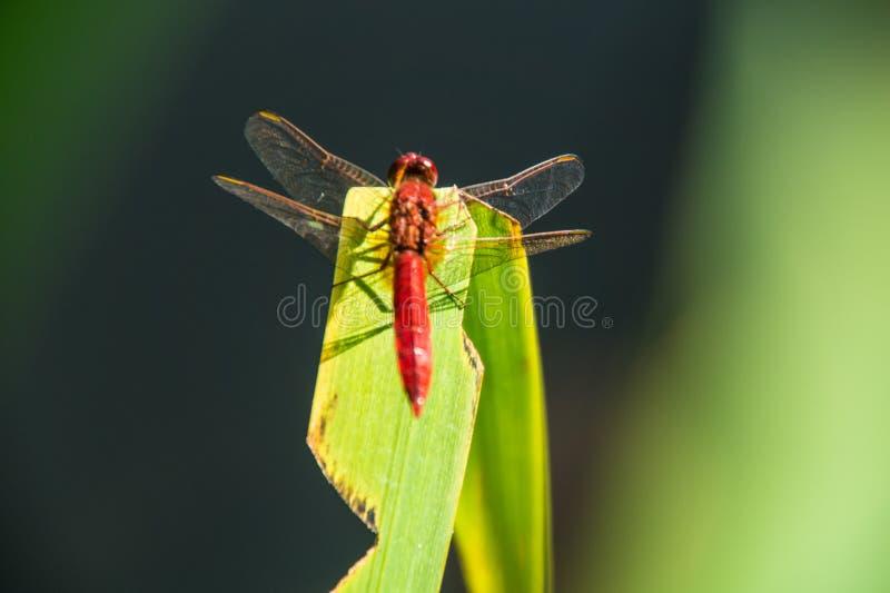 Odonata, libellule, isere, Francia fotografia stock