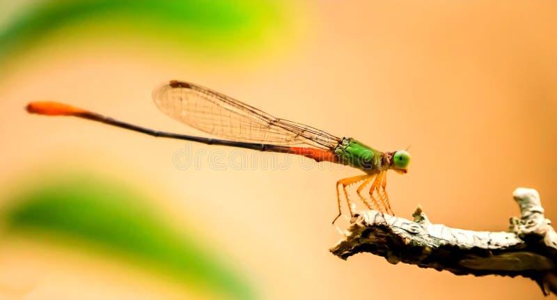 Odonata - Pomarańczowa ogoniasta bagno strzałka zdjęcie royalty free