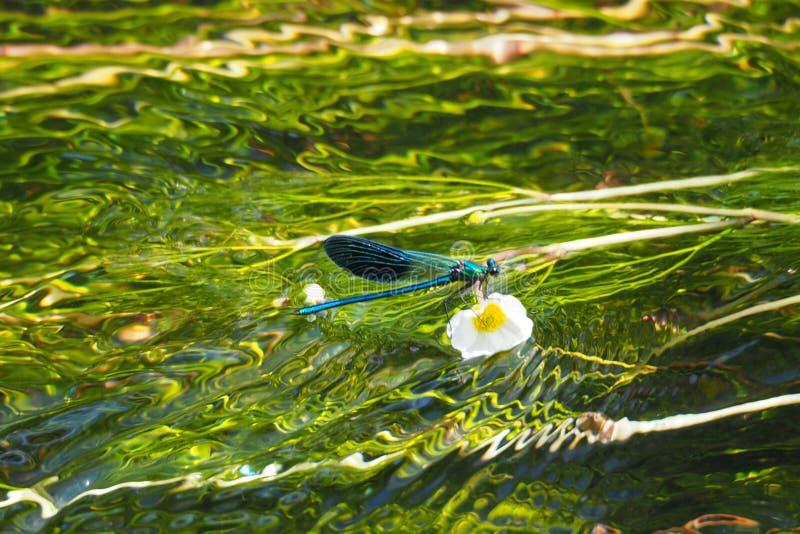 Odonatalibelle, der blauen Farbe gehockt auf einer weißen und gelben Blume auf dem kalten Wasser des Flusses Ulla stockfoto