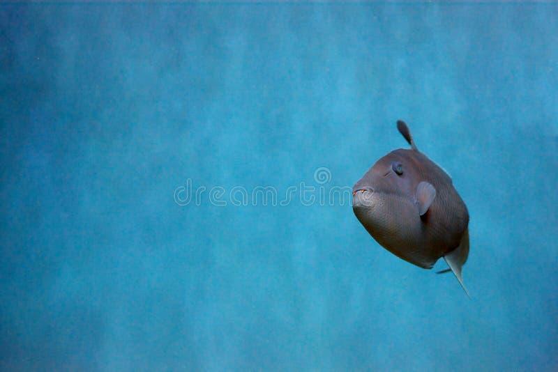 Odonus Niger także znać jako uzębiony triggerfish zdjęcie royalty free