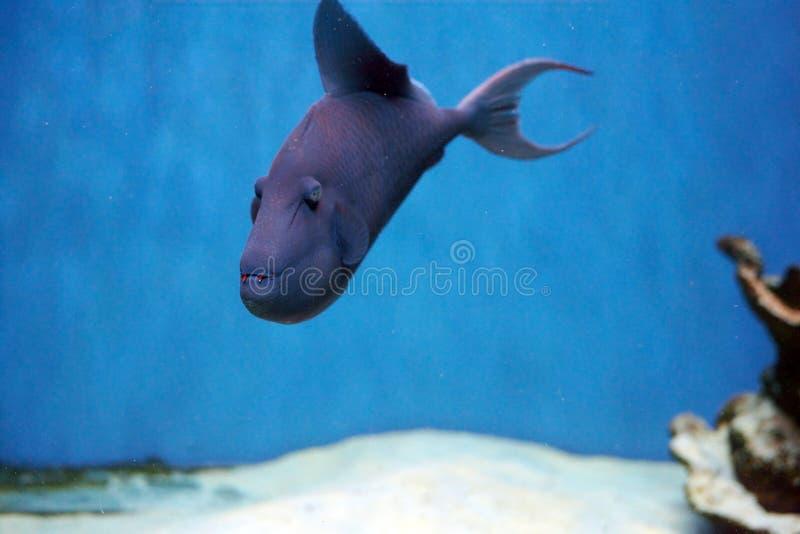 Odonus Niger także znać jako uzębiony triggerfish fotografia stock