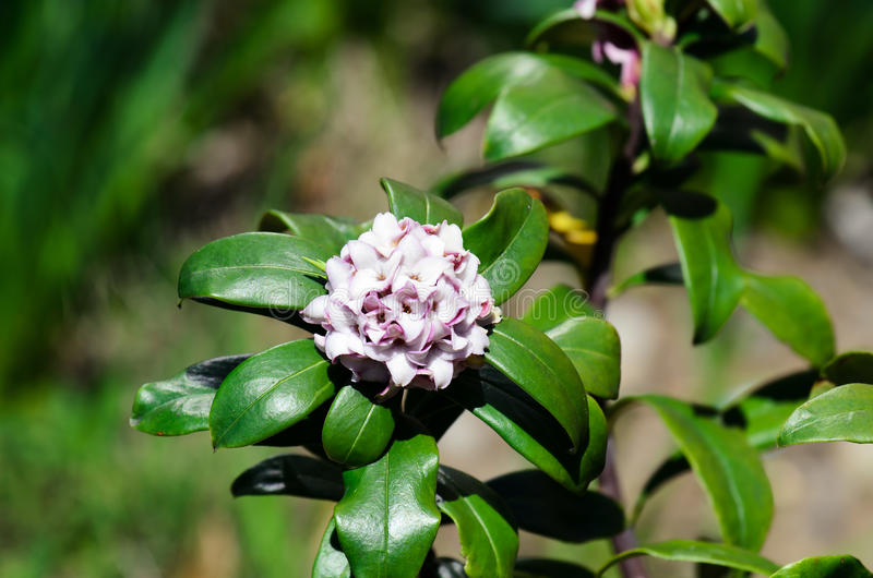 Odora di Daphne fotografie stock libere da diritti