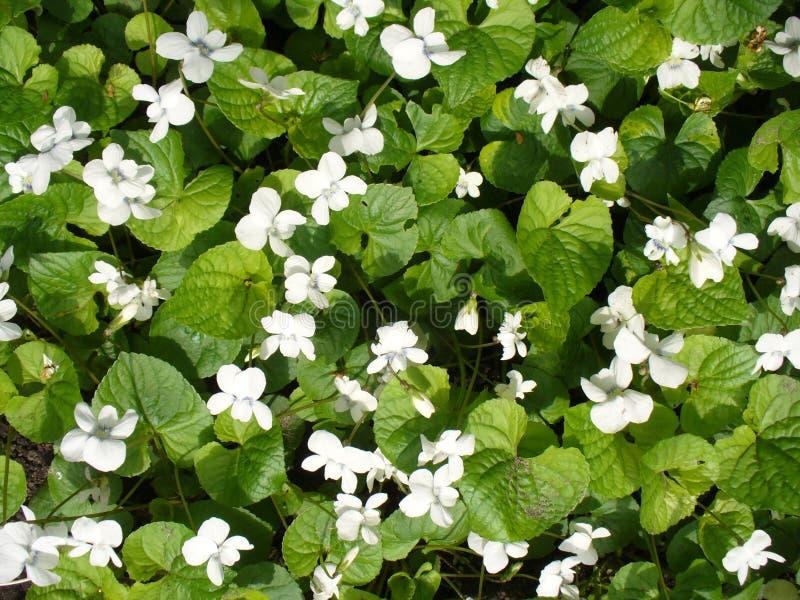 odorata λευκό viola στοκ εικόνες με δικαίωμα ελεύθερης χρήσης