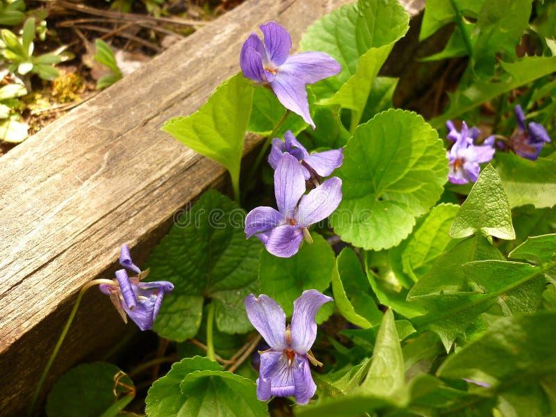 Odorata Виолы, деревянный фиолет стоковая фотография rf