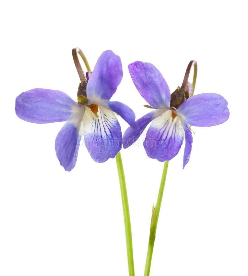 Odorata in anticipo della viola di due fiori della molla isolata su fondo bianco Profondità del campo poco profonda Fuoco seletti immagine stock