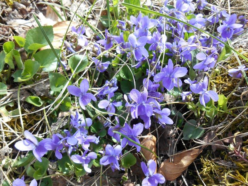 Odorata da viola que bloming na floresta fotografia de stock royalty free