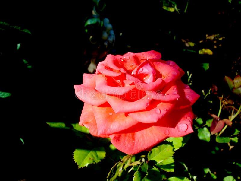 Odorata de Rosa Plan rapproché rose rouge, avec des baisses de pluie images libres de droits