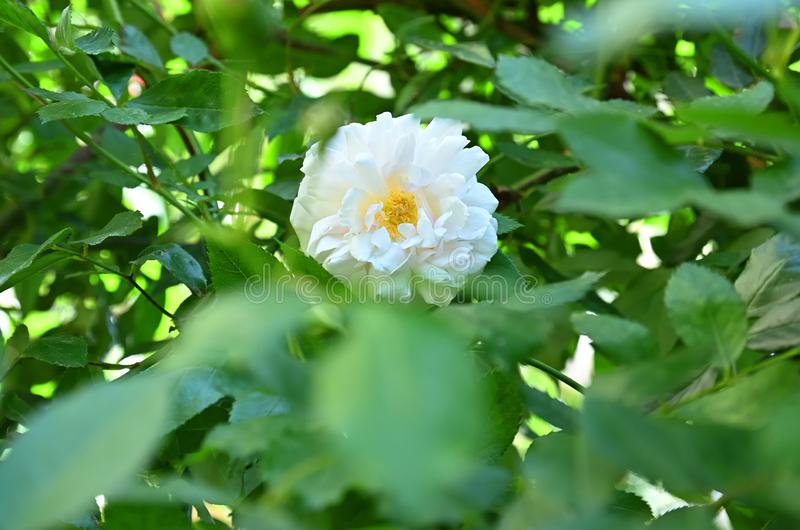 Odorata de Rosa Th? parfum? de Rose photographie stock
