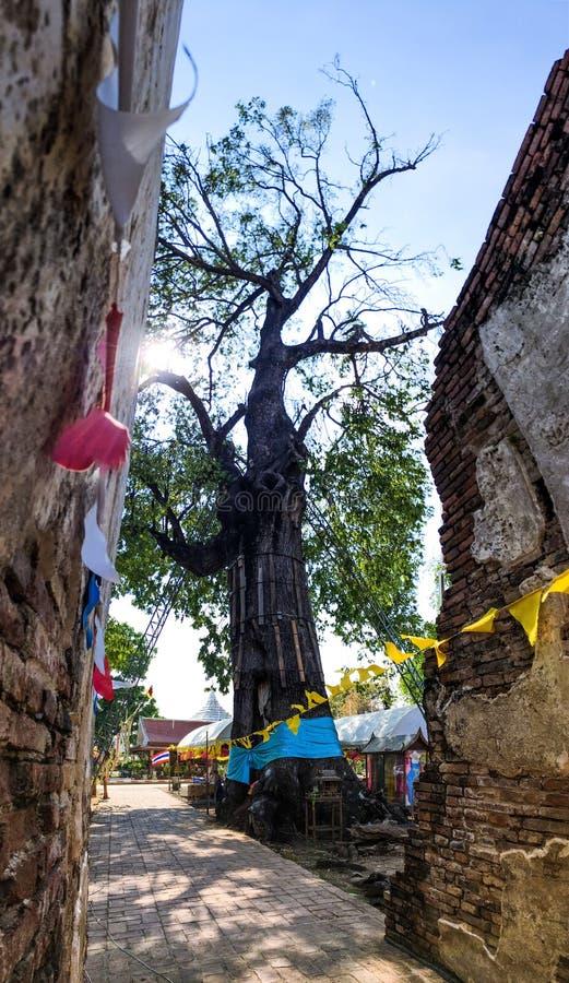 Odorata enorme de Hopea no templo tailandês fotografia de stock royalty free