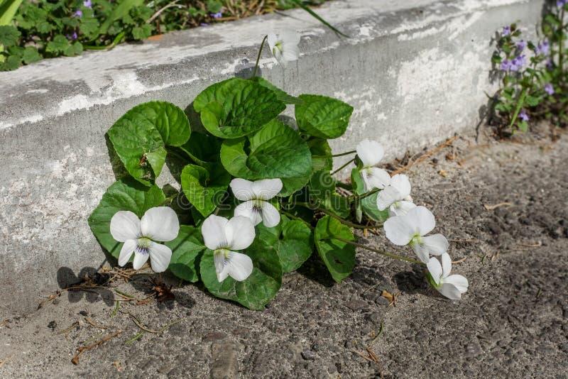 Odorata flores blancas ?Alba ?de la viola en jard?n de la primavera imagen de archivo