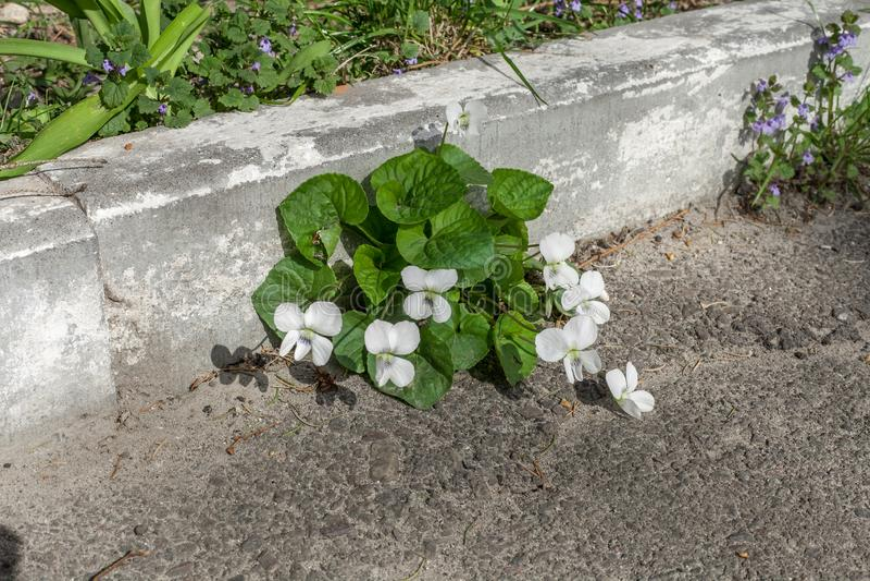 Odorata flores blancas ?Alba ?de la viola en jard?n de la primavera foto de archivo