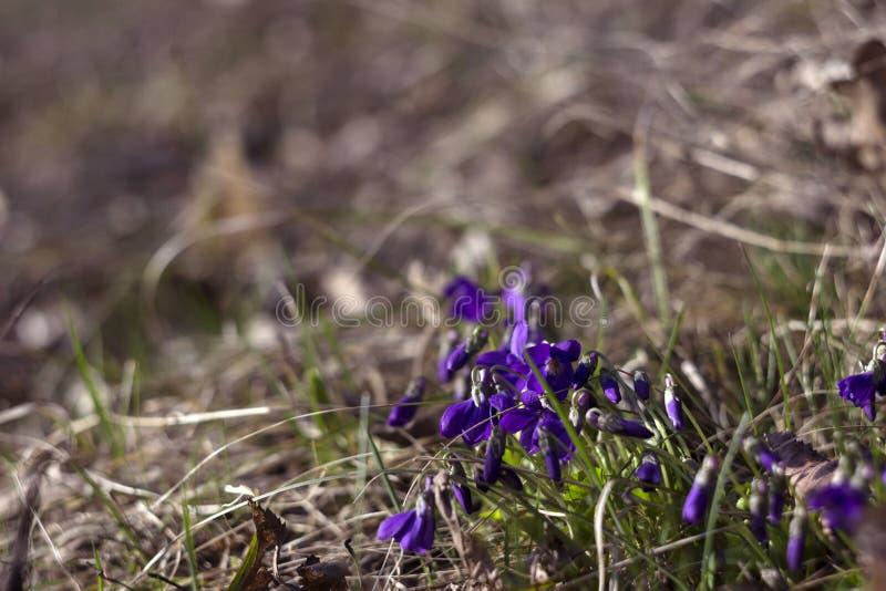Odorata Viola γλυκιά ιώδης, αγγλική ιώδης, κοινή βιολέτα - τα ιώδη λουλούδια ανθίζουν την άνοιξη την άνοιξη άγριο λιβάδι, υπόβαθρ στοκ εικόνες