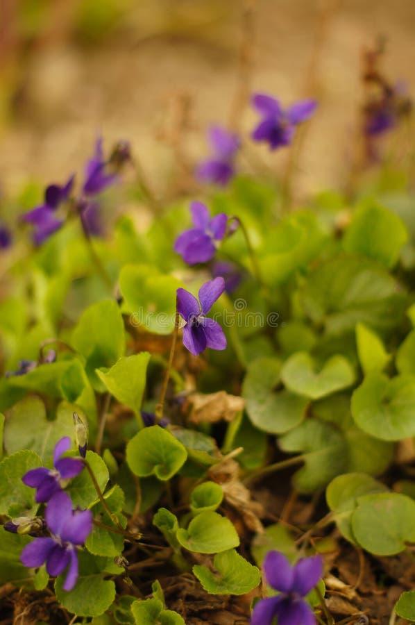 Odorata Viola στοκ εικόνες με δικαίωμα ελεύθερης χρήσης