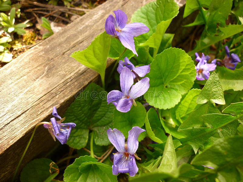 Odorata Viola, ξύλινη βιολέτα στοκ φωτογραφία με δικαίωμα ελεύθερης χρήσης