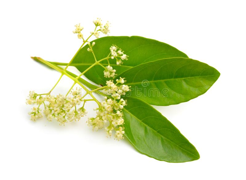 Odoratissimum do Viburnum, conhecido geralmente como o viburnum doce Isolado fotos de stock