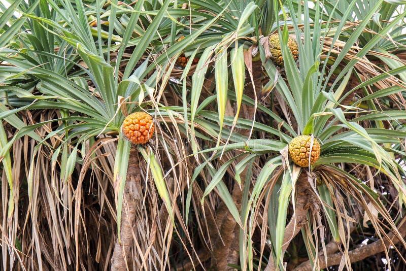 Odoratissimus pandan tropical não comestível L do Pandanus do fruto ou do pandanus imagem de stock