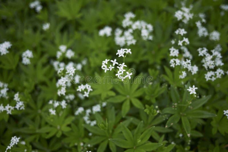 Odoratum del galio con las flores blancas imágenes de archivo libres de regalías