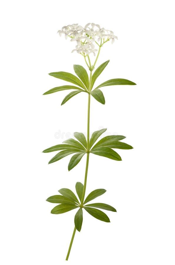 Odoratum van bedstrogalium royalty-vrije stock afbeeldingen