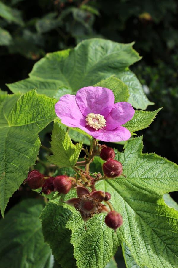 Odoratus de Thimbleberry o del Rubus fotos de archivo libres de regalías