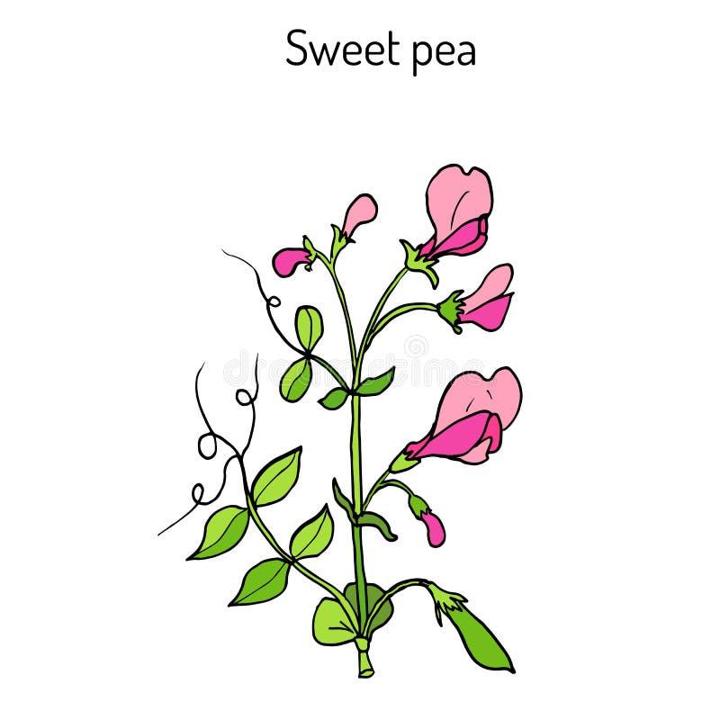 Odoratus del Lathyrus del guisante de olor stock de ilustración