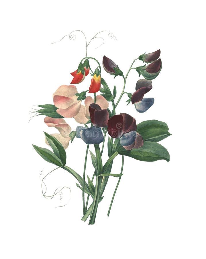 Odoratus del Lathyrus del guisante de olor   Ejemplos antiguos de la flor ilustración del vector