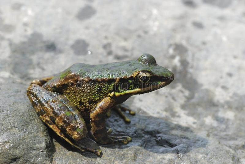 Odorrana swinhoana frog. Common names back brown frog, sharp nose and brown frogs, birds lie for Ranidae Rana smell of amphibians. Located in the island of stock photography
