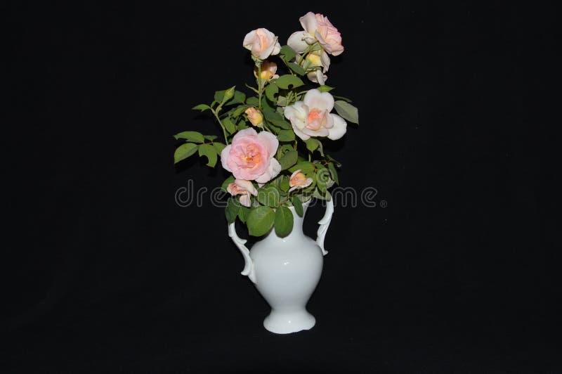 Odory róże w białej wazie na czarnym tle obraz stock