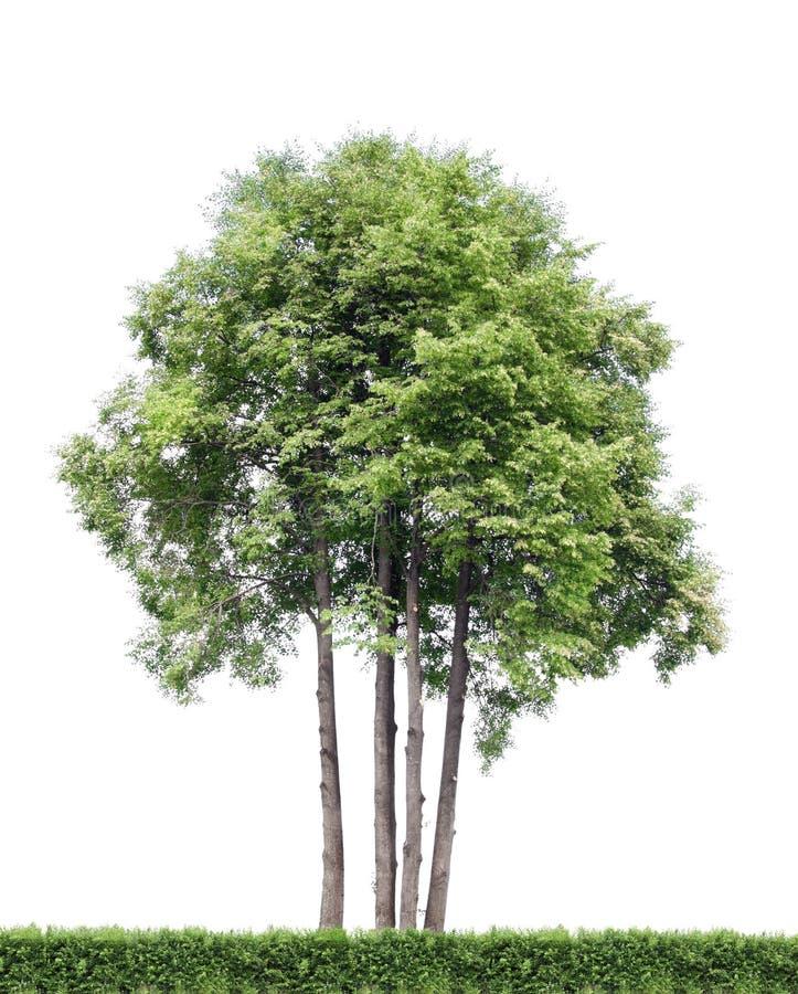 odosobneni żywopłotów drzewa zdjęcie royalty free