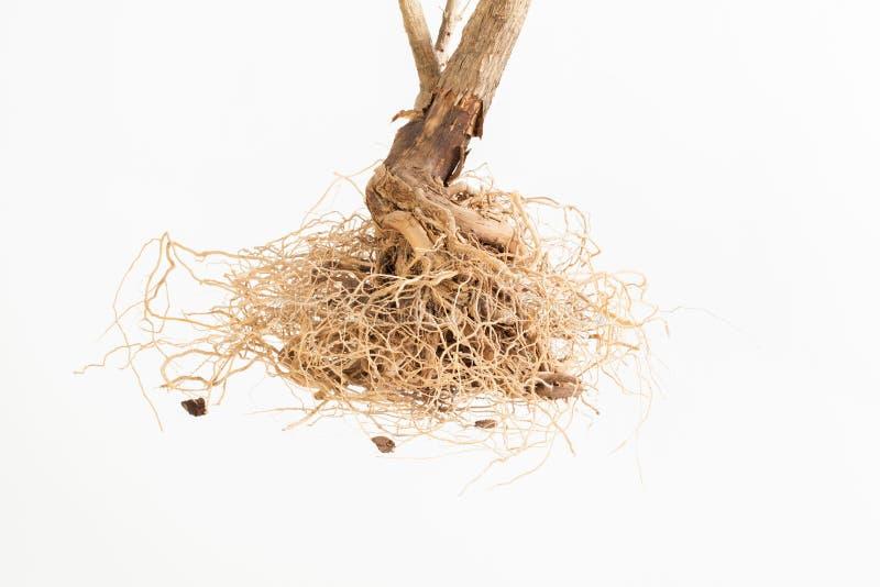 Odosobneni głębocy nieboszczyków korzenie na białym tle zdjęcia royalty free