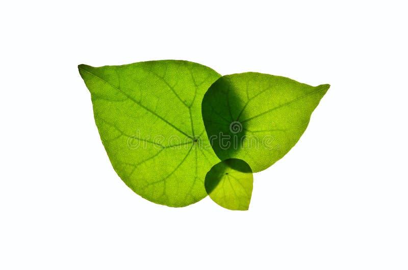 Odosobneni liście i biały tło, liścia tła Białego Białego ulistnienia egzotyczny biały tło zdjęcia royalty free
