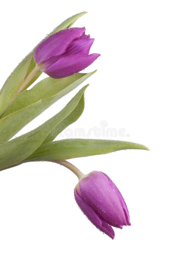 odosobneni purpurowi tulipany zdjęcie royalty free