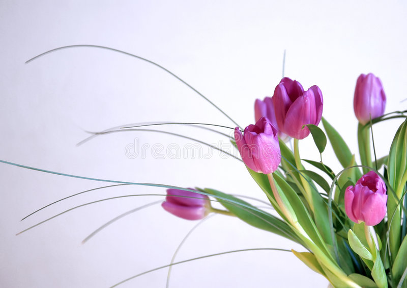 odosobneni różowi tulipany zdjęcia stock