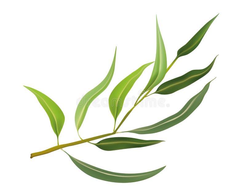 Odosobneni realistyczni wektorowi eukaliptusowi liście - Odosobniona realistyczna wektorowa eukaliptus gałąź royalty ilustracja