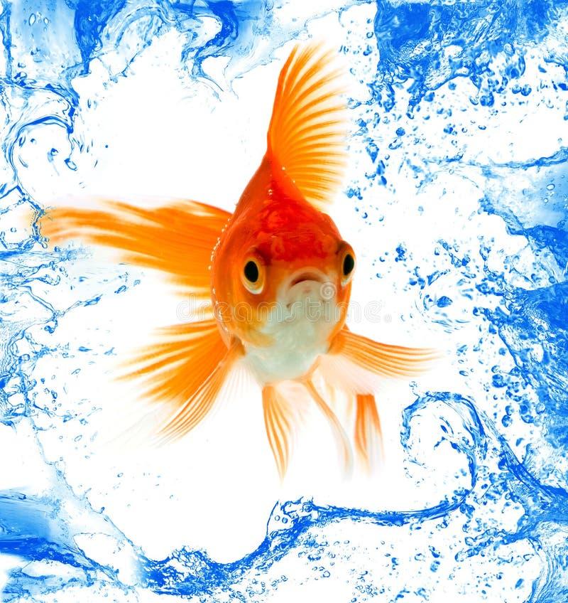 odosobnienie rybi złocisty biel zdjęcie royalty free